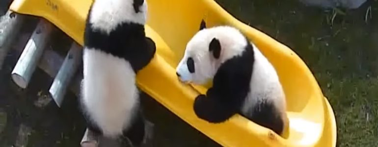 Csúszdát kapott a torontói állatkert két óriáspandabébije