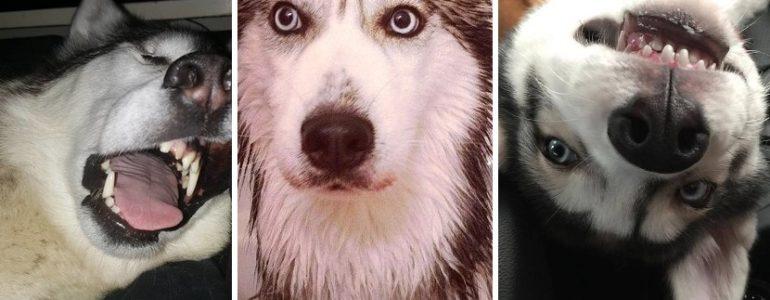 15 nyomós indok, amiért imádjuk a huskykat