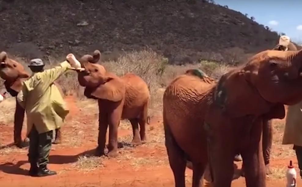 Így rohannak az árva elefántbébik, mikor gondozóik megjelennek a tejesüveggel