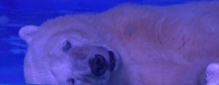 """Nagy-Britanniában kezdhetne új életet a """"világ legszomorúbb jegesmedvéje"""""""