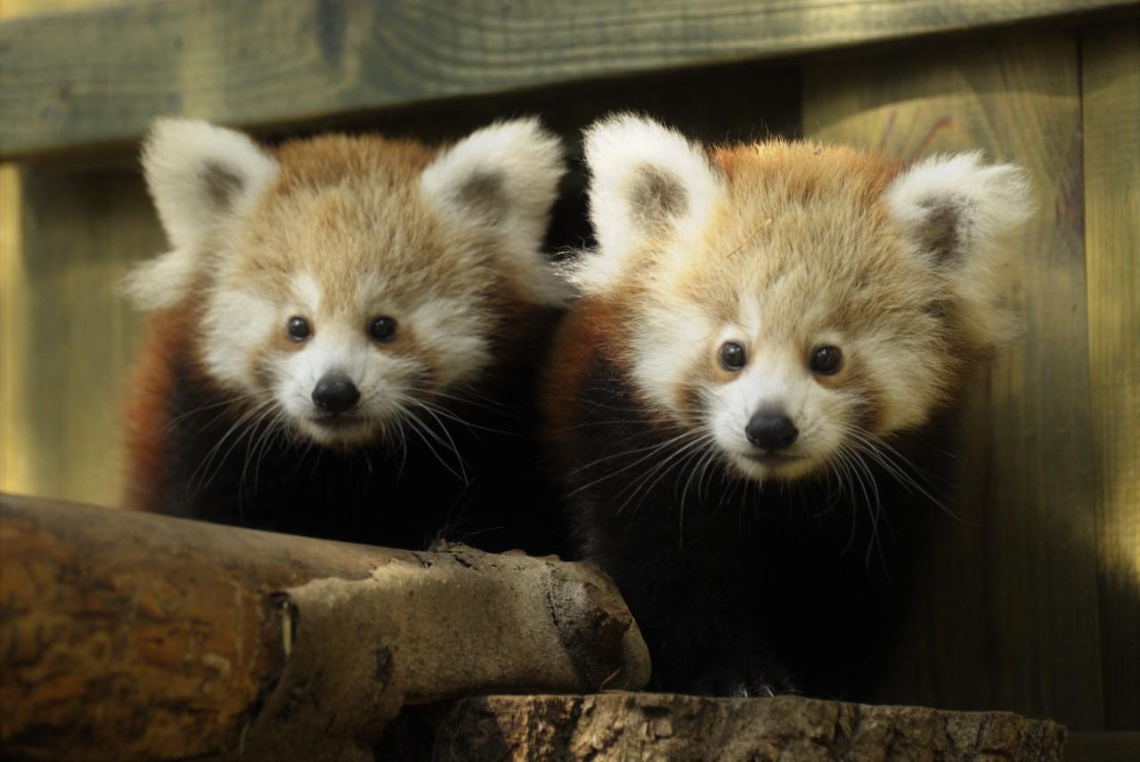 Nevet kaptak a nyíregyházi kis panda ikrek