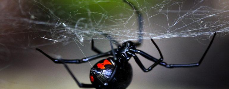 Különleges taktikát fejlesztettek ki a feketeözvegy-hímek, hogy túléljék a párzást