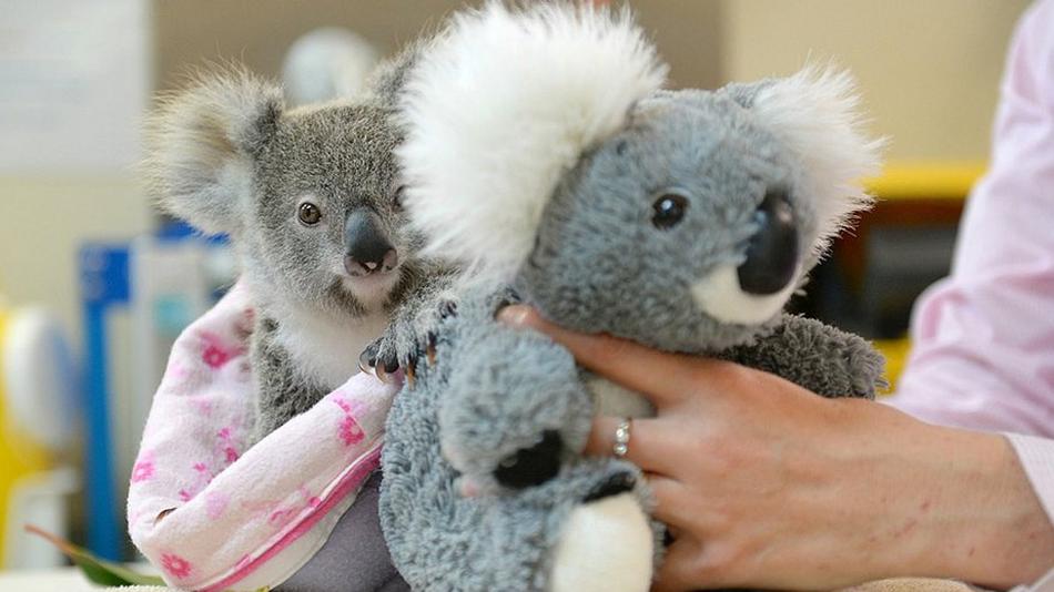 Plüssállattal vigasztalódik az árva koalakölyök