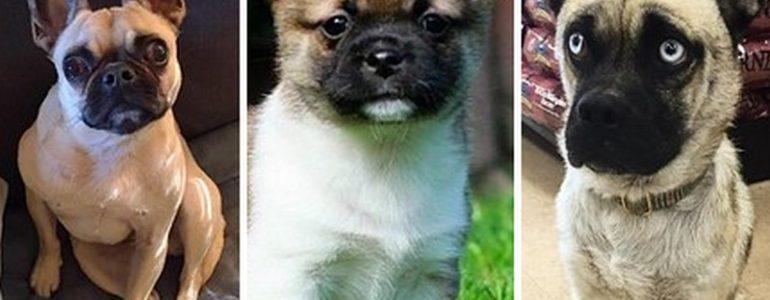 15 mopsz keverék kutyus, akiknél ma már nem lesz aranyosabb