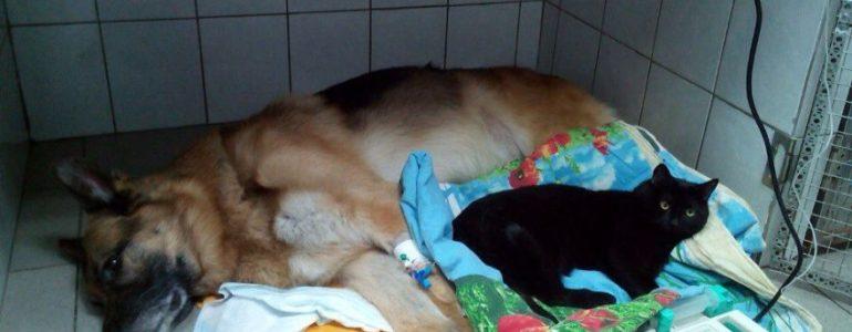 Lebénult cica vigasztalja az állatkórházban a kis betegeket