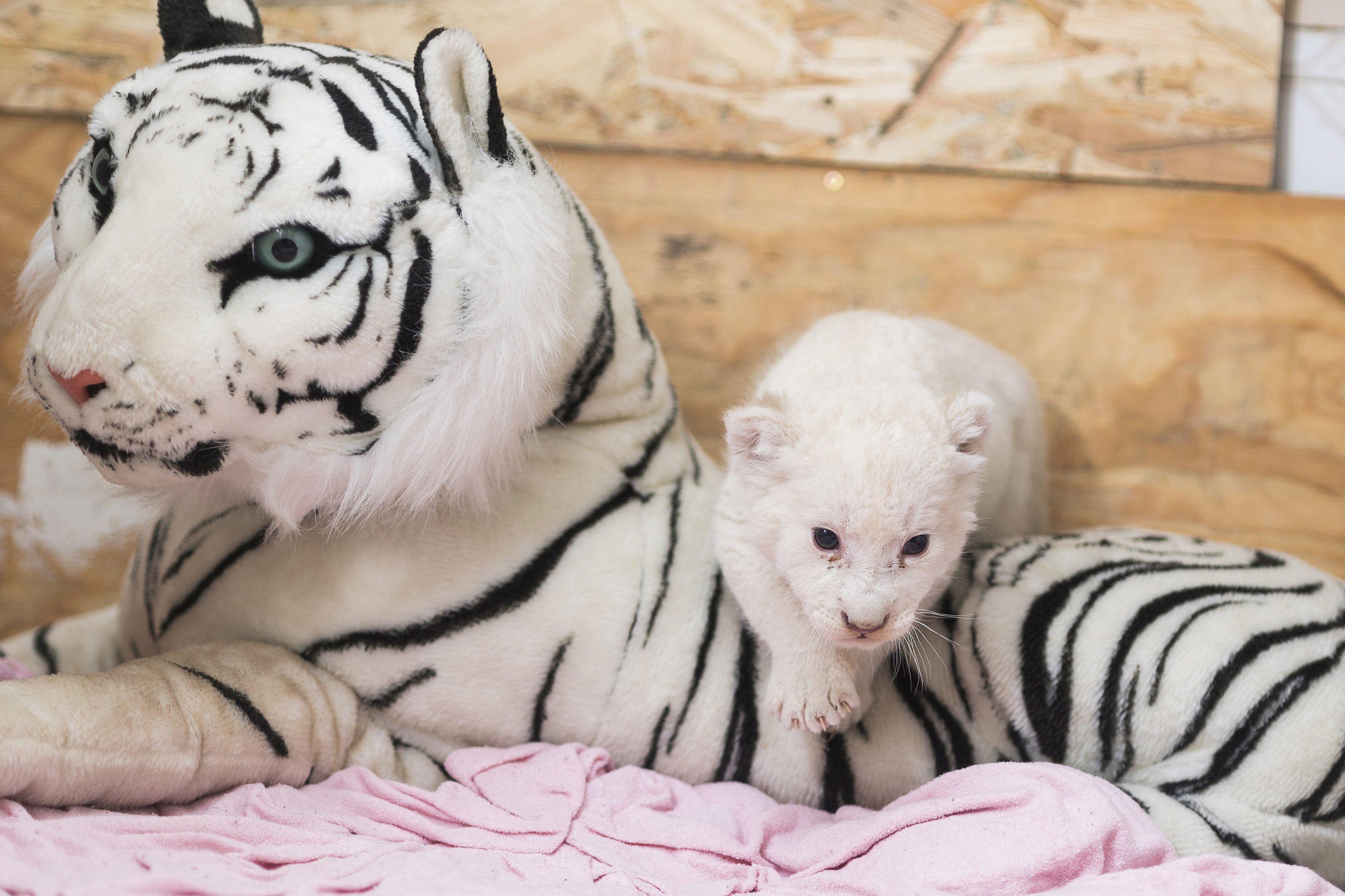 Nyíregyháza, 2016. szeptember 28. Öthetes nõstény fehér dél-afrikai oroszlán (Panthera leo krugeri) az anyaállatot pótló plüsstigris mellett Herlicska Anikó állatgondozó szolgálati lakásában, a Nyíregyházi Állatparkban 2016. szeptember 27-én. A kölyök háromhetes korában az anyaállat teje elapadt, ezért a gondozó vállalta át a ritka színváltozatú kisoroszlán nevelését. MTI Fotó: Balázs Attila
