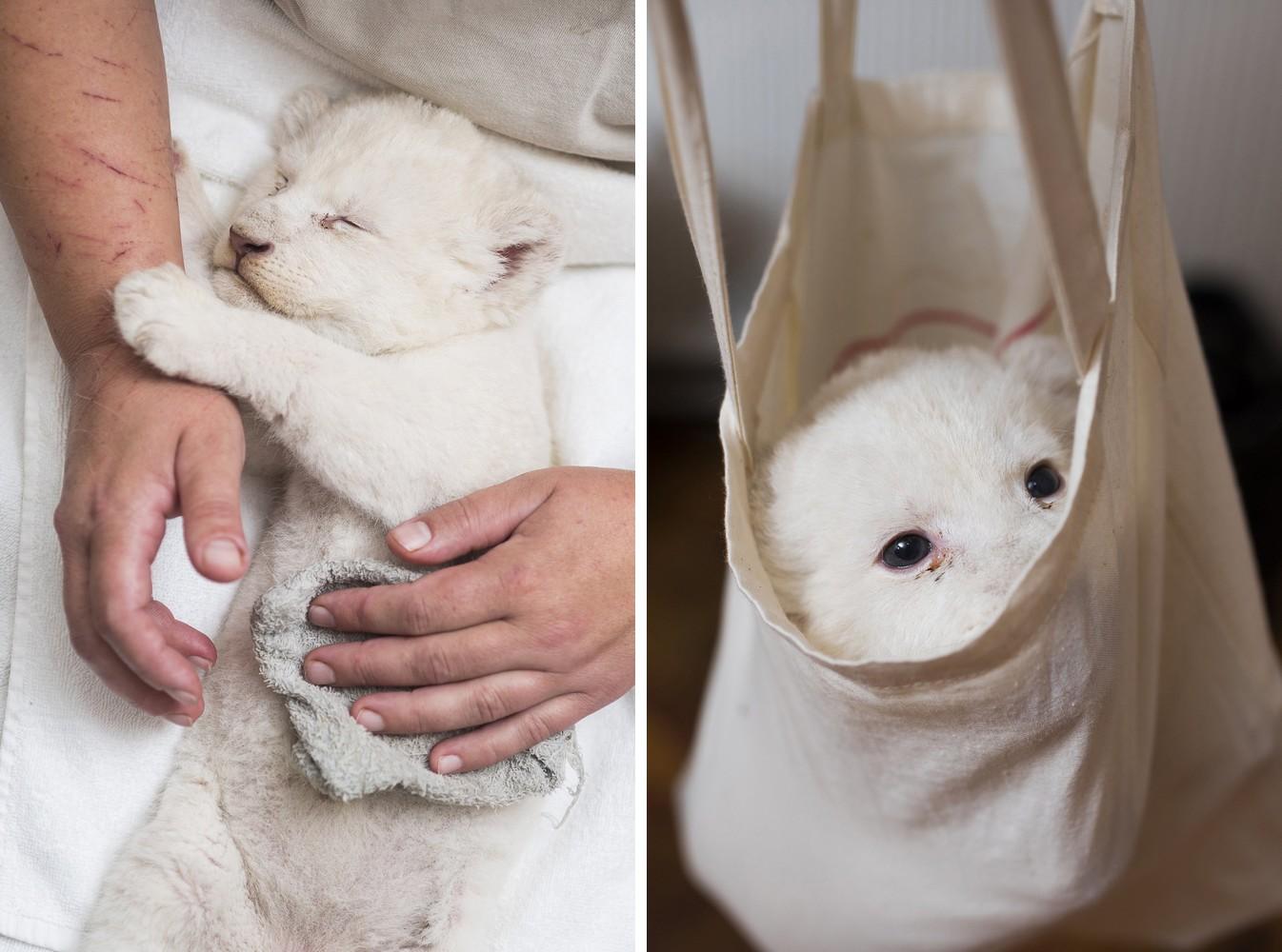 Bemutatkozott a Nyíregyházi Állatpark fehér oroszlán bébije