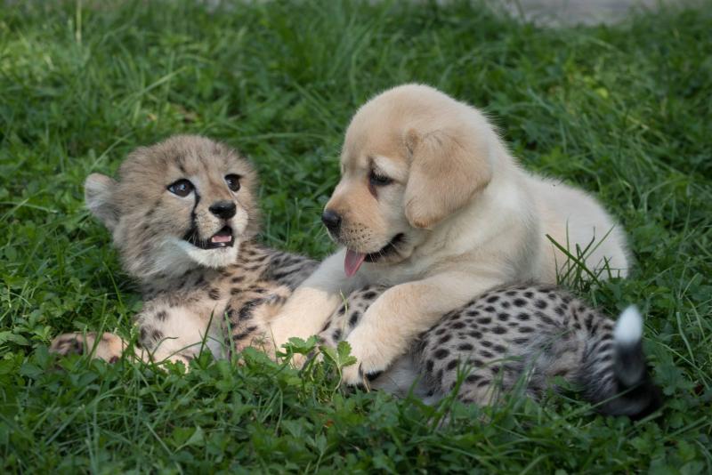 Együtt nevelkedik a gepárd és a kutyus, ketten együtt imádnivaló párt alkotnak!