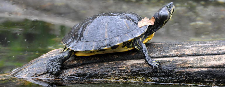 A fővárosi állatkertbe kerülnek a Feneketlen-tóból eltávolított nem őshonos teknősök