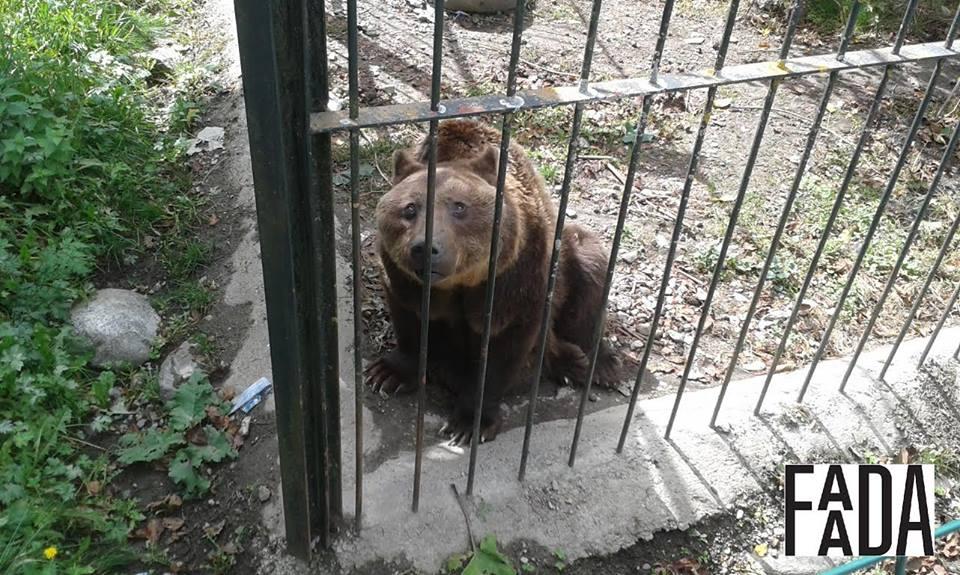 Spanyolországból mentett medvék érkeznek Veresegyházra