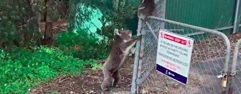 Azonnal kicsinye segítségére siet a koalamama, mikor meghallja a sírását
