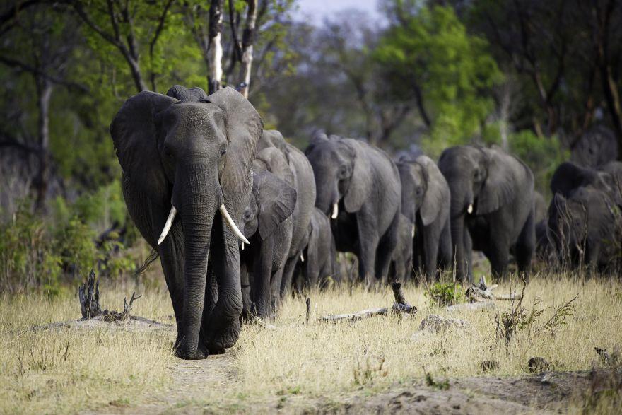 Ötödével csökkent az afrikai elefántpopuláció