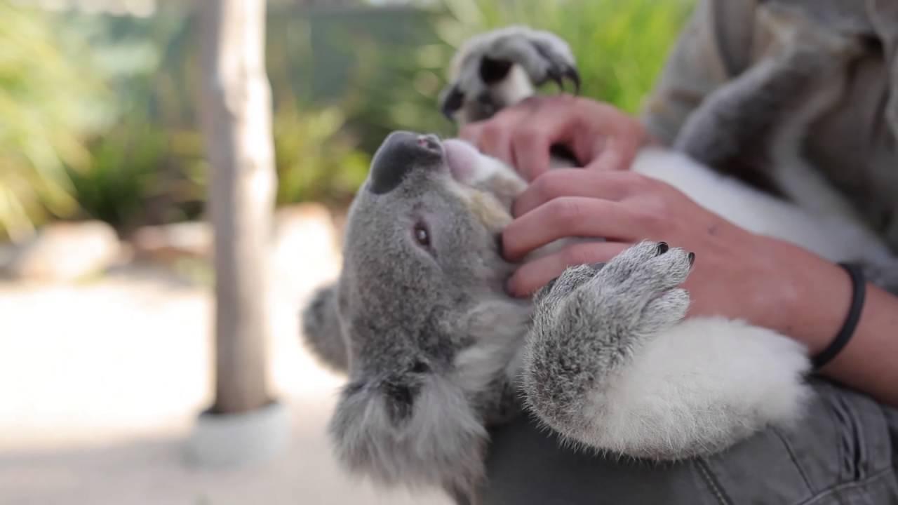 Ez a koala úgy hagyja magát dögönyözni, akár egy plüssmaci
