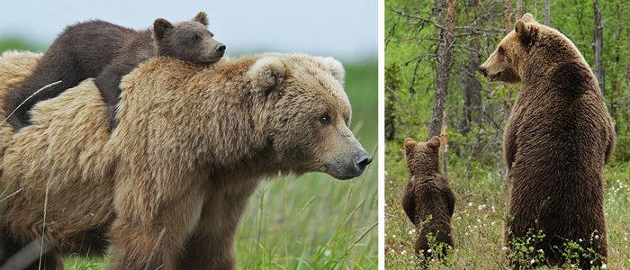 22 imádnivaló medvebocs az anyukájával