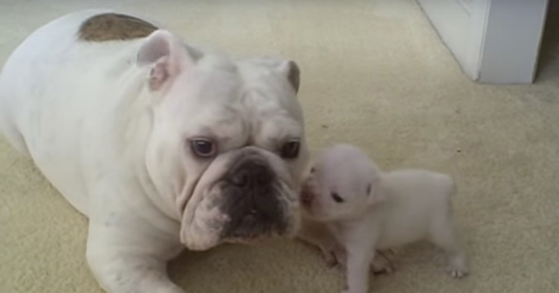 elvis-the-bulldog-puppy-reads-his-mom-the-riot-act