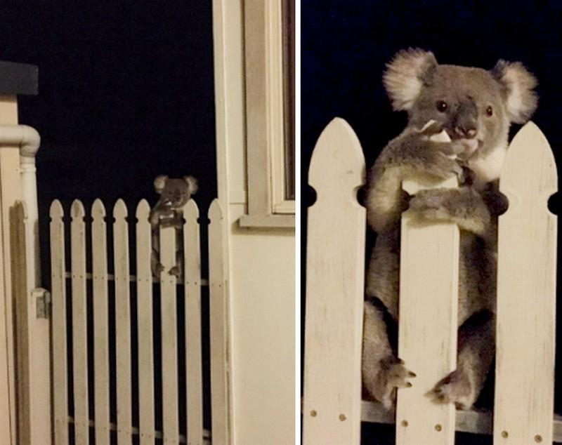 Mit tennél, ha egy koala próbálna bejutni a kerítéseden?