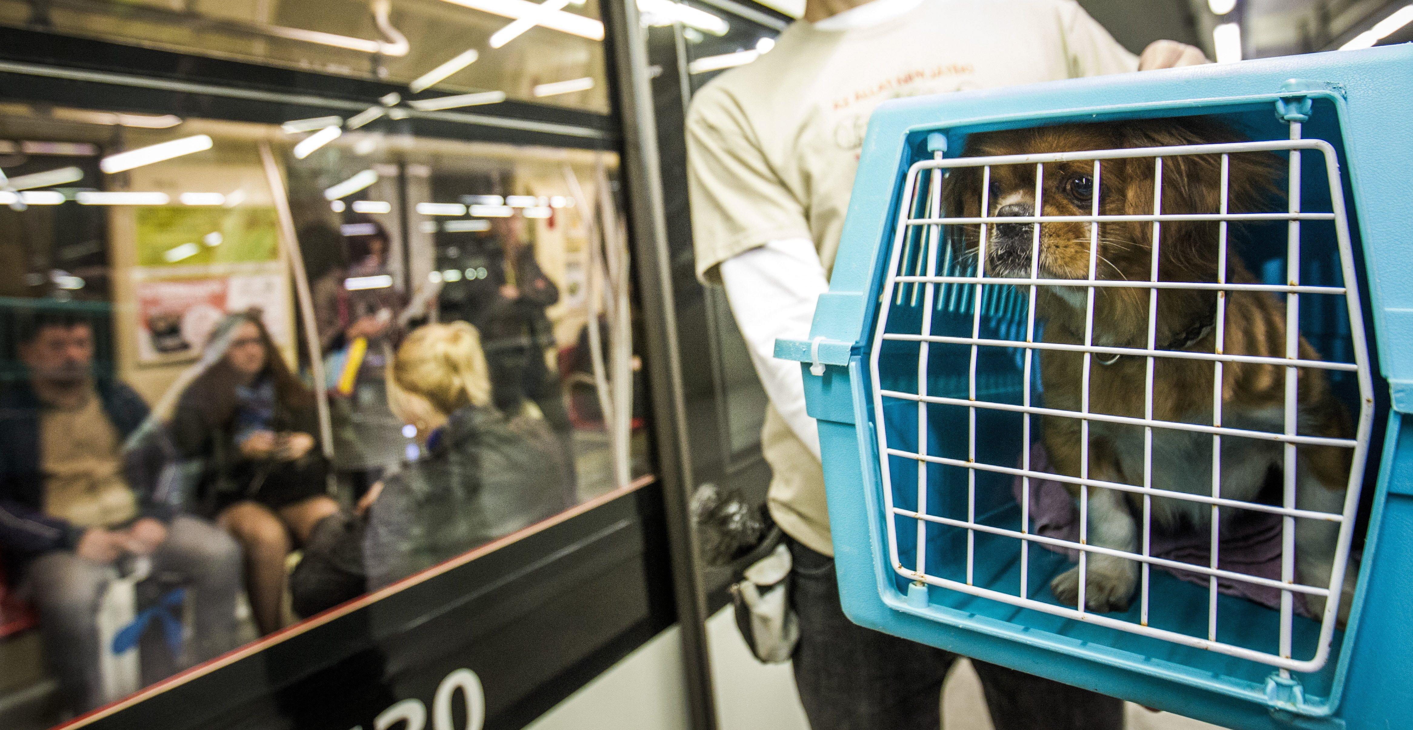 Budapest, 2016. október 4. Mandarin, a Rex Kutyaotthon lakója a Hogyan utazzunk kutyával? címmel az állatok világnapján a Rex Kutyaotthon Alapítvány és a Budapesti Közlekedési Központ által szervezett sajtótájékoztatón a budapesti Szent Gellért téri M4-es metróállomáson 2016. október 4-én. MTI Fotó: Szigetváry Zsolt