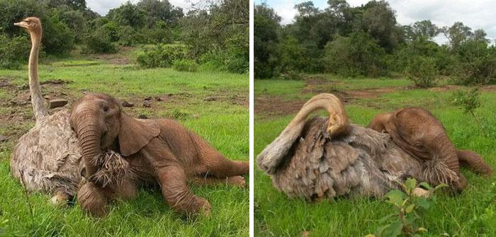 Jószívű strucc gondoskodik az elárvult elefántbébikről