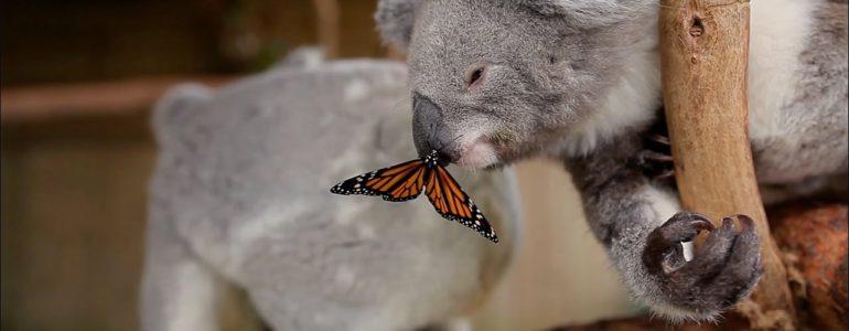 Pillangó zavarta meg a koalamackó fotózását
