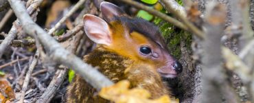 Hiding Reeves's muntjac (Muntiacus reevesi) baby
