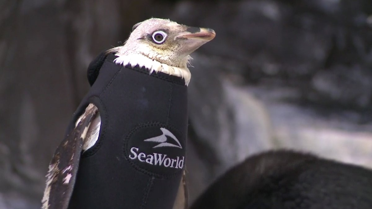 Apró búvárruha melegíti a tollhullással küzdő pingvint