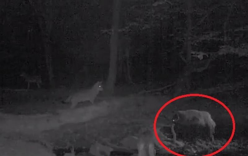 Bátor vaddisznó kergette el a farkasokat Aggteleknél