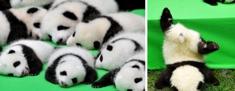 23 bébipanda mutatkozott be Kínában, erre a cukiságra pedig nincsenek szavak