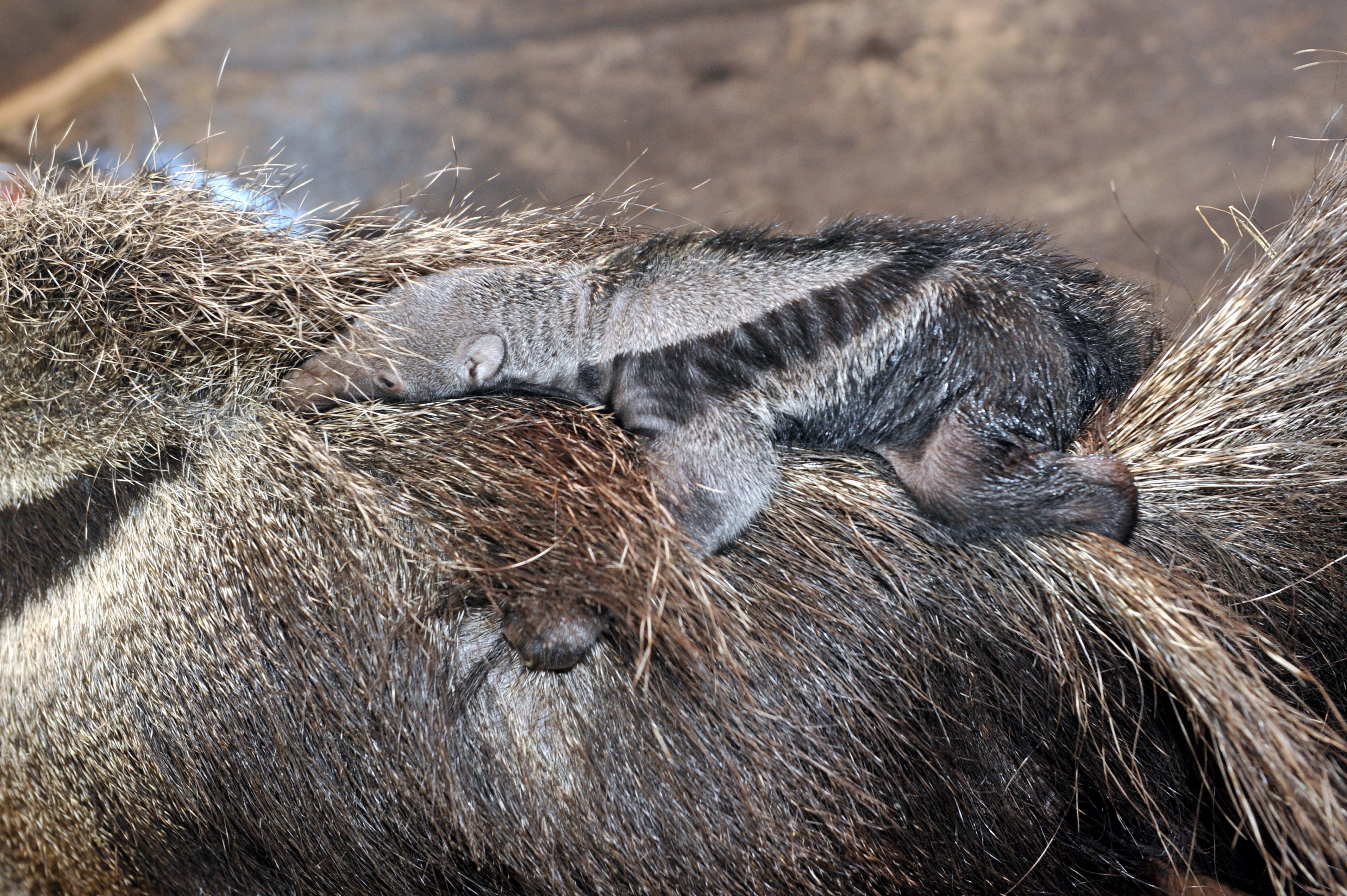 Először született sörényes hangyász a fővárosi állatkertben
