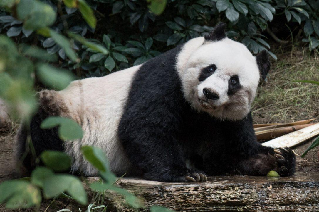 Elhunyt a világ legidősebb óriáspandája