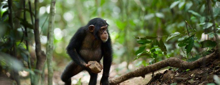 Először kapták lencsevégre, ahogy vadon élő csimpánzok eszközhasználatra tanítják a kölykeiket
