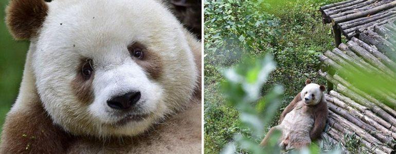 Ismerd meg a világ egyetlen barna óriáspandáját!
