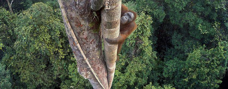 Fügét vadászó orangutánról készített kép lett az év természetfotója