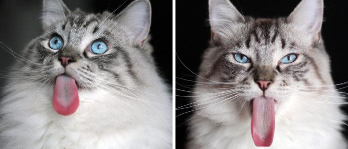 Ő itt Thorin, a cica, aki óriási nyelvvel született!
