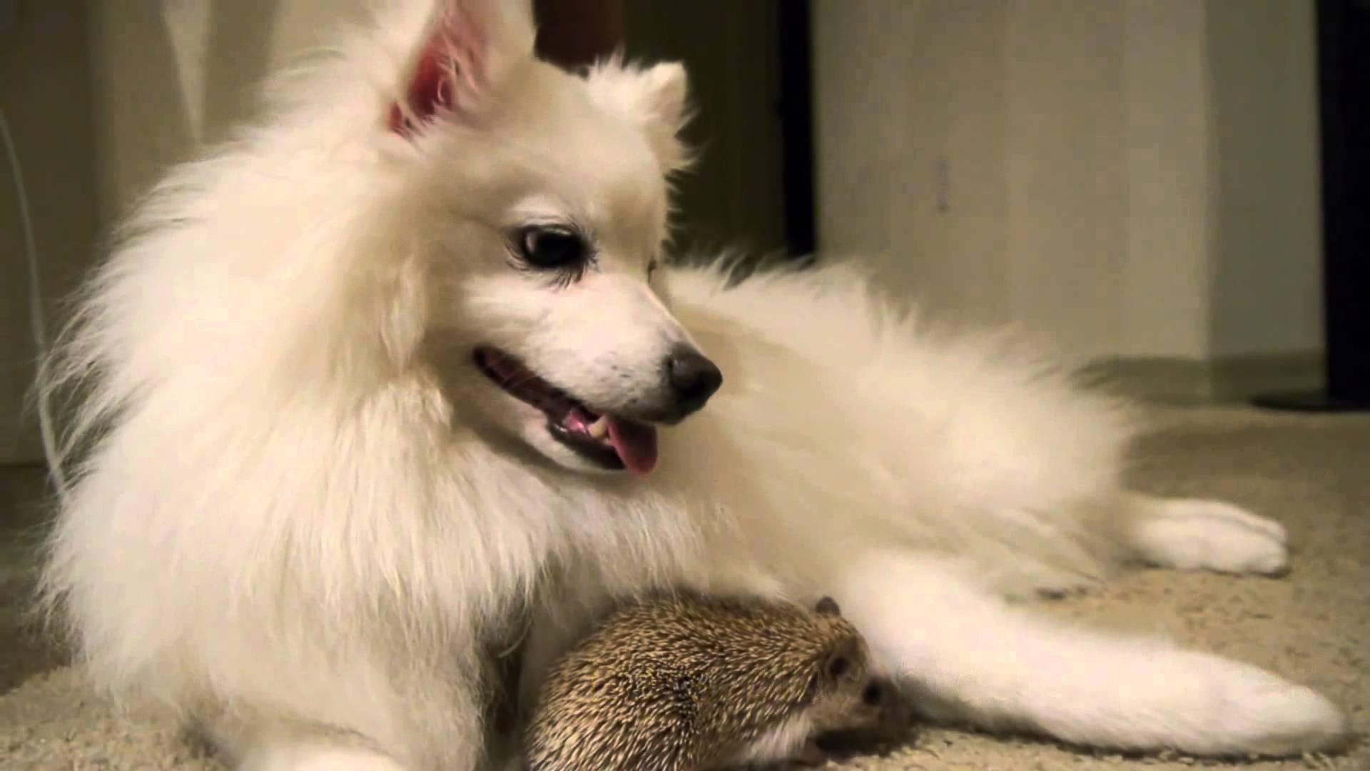 Mosolyt csal az arcodra a süni és a kutyus barátsága