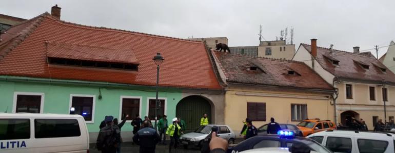 Három órát bolyongott Nagyszeben központjában egy medve, lelőtték