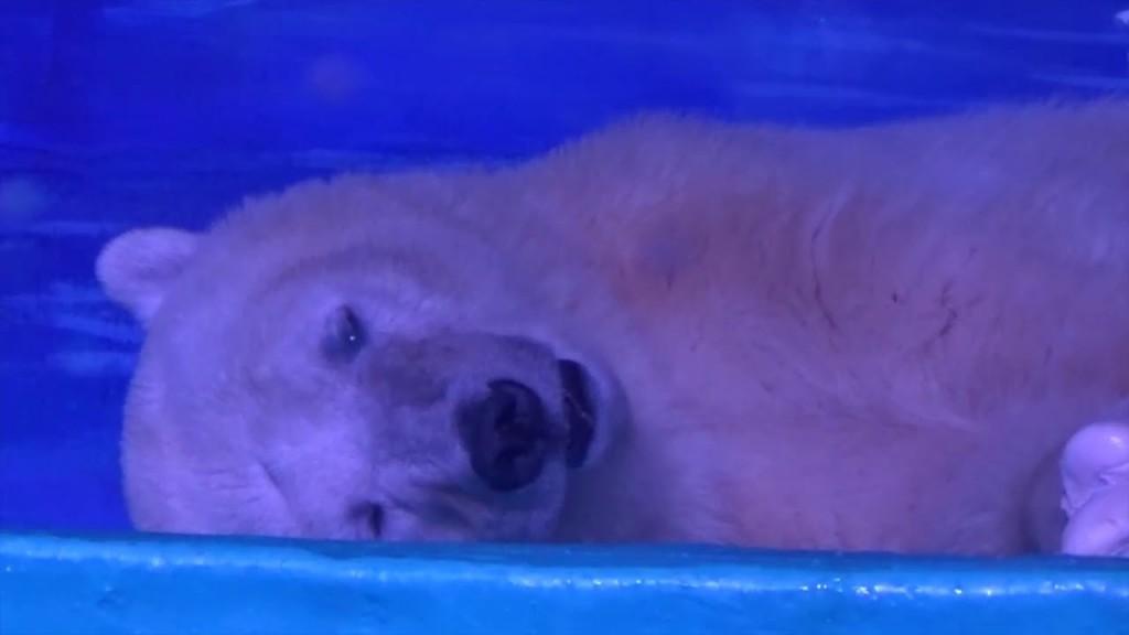 Átmenetileg szabadulhat csak fogságából a legszomorúbb jegesmedve