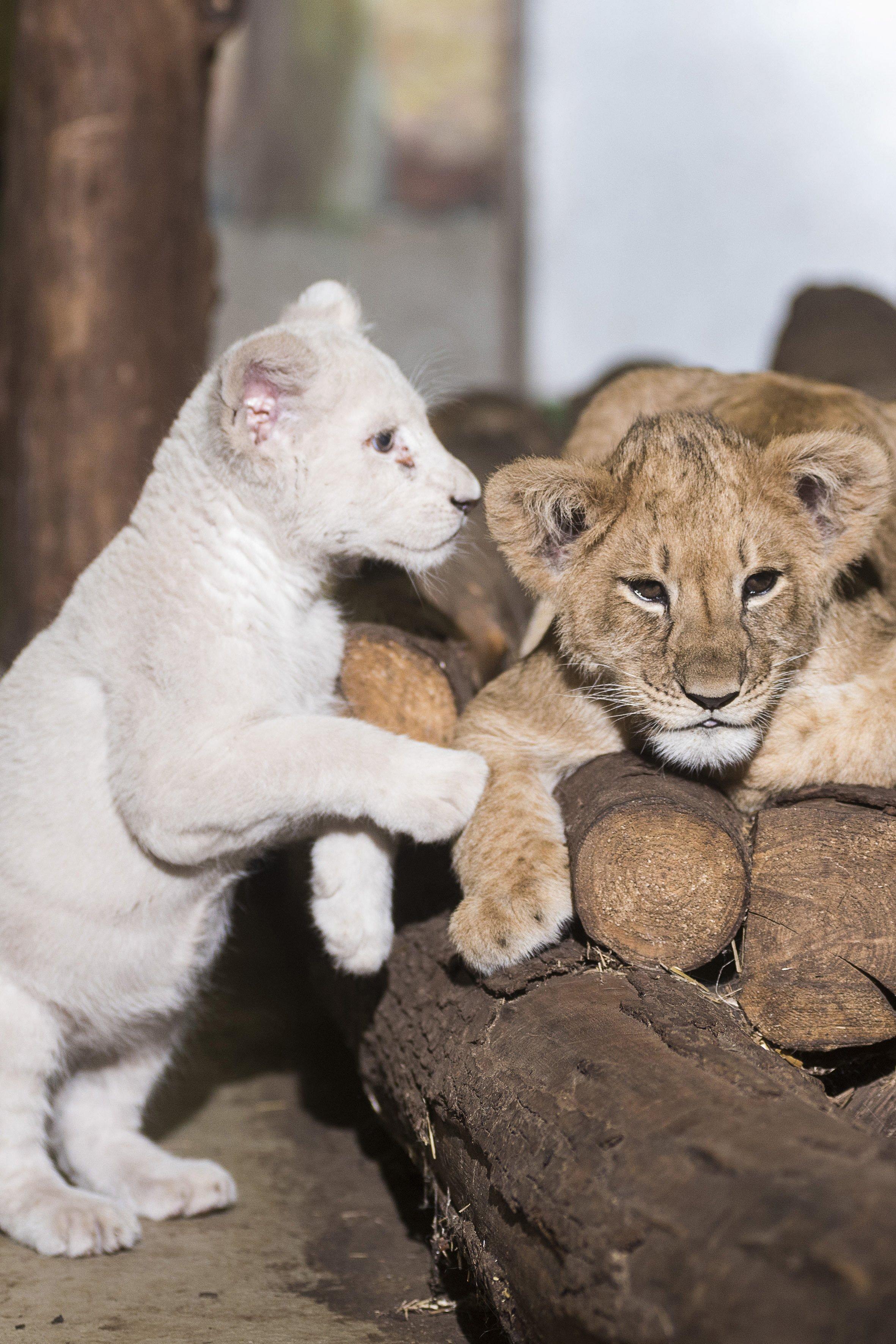 Nyíregyháza, 2016. november 11. A Nyíregyházi Állatpark tizenegy hete született fehér dél-afrikai oroszlánja (Panthera leo krugeri) és a Gyöngyösi Állatkertbõl érkezett, két héttel idõsebb normál színváltozatú fajtársa (Panthera leo) játszik az állatpark Viktória házában 2016. november 10-én. A fehér oroszlánt gondozója nevelte, családjához nem lehet visszahelyezni, de fontos, hogy minél kevesebb emberi hatás érje, ezért kerestek korban hozzá illõ fajtársat az állatkert szakemberei. MTI Fotó: Balázs Attila