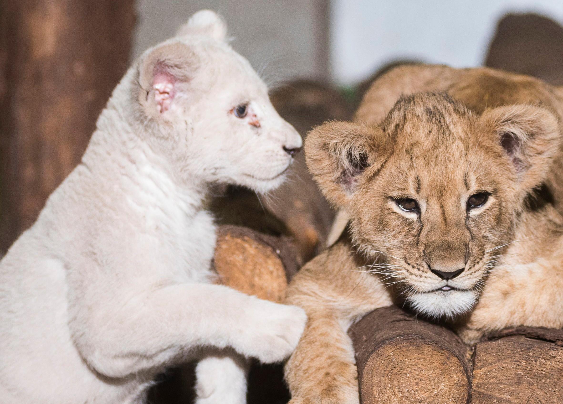 Társat kapott a Nyíregyházi Állatpark fehér oroszlánkölyke