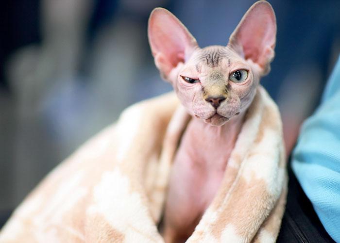 Borotvált cicákat adtak el szfinx macskák helyett Kanadában