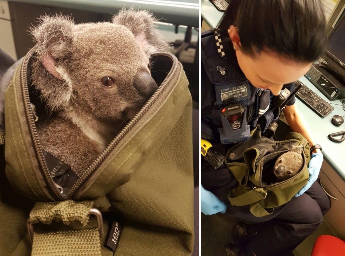 Koalabébit csempészett a hátizsákjában, szerencsére a rendőrség közbeszólt