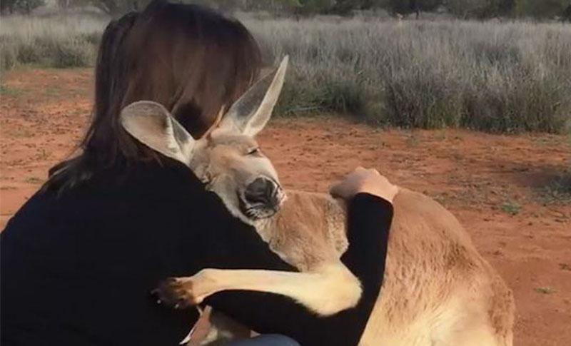 Minden nap öleléssel köszöni meg az árva kenguru, hogy megmentették