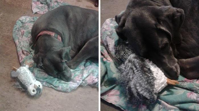Plüssállat lett a hatalmas német dog legjobb barátja