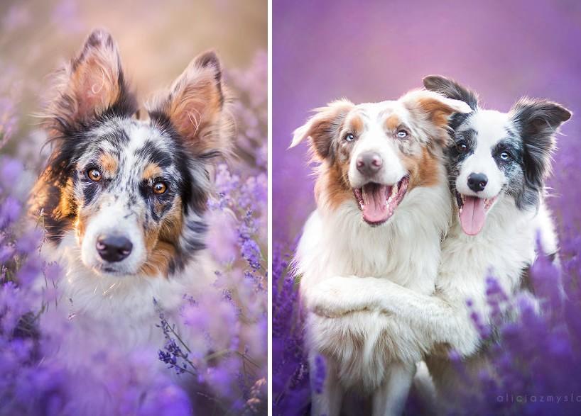 Mesebeli fotók a levendulamezőn játszó kutyusokról