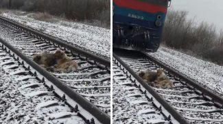 A vonat elől sem tudott elfutni a megsérült kutyus, de szerencsére legjobb barátja a segítségére sietett