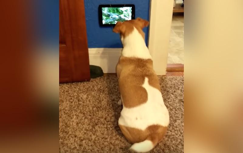 Annyira menő ez a kutya, hogy még saját tévéje is van
