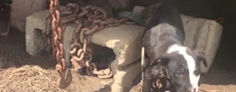 Óriási láncok tartották a 10 hetes kutyust, de jöttek az állatmentők, és megváltozott az élete