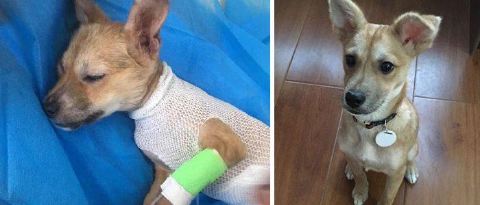 Senki sem hitt a húsüzemből mentett kutyus felépülésében, de egy nő nem adta fel