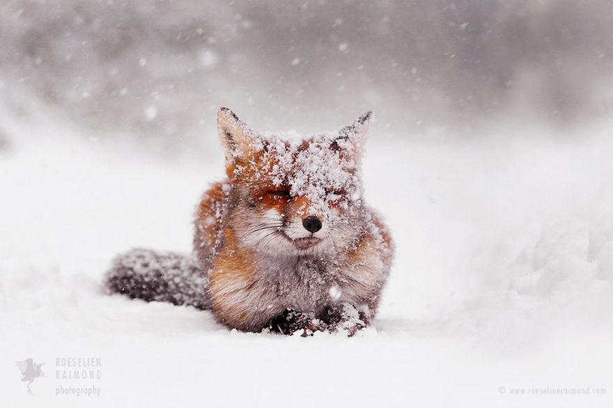 Téli csodavilágba kalauzolnak ezek a gyönyörű rókák