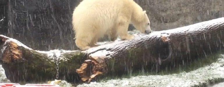 Így élvezi a kölyök jegesmedve az első havat