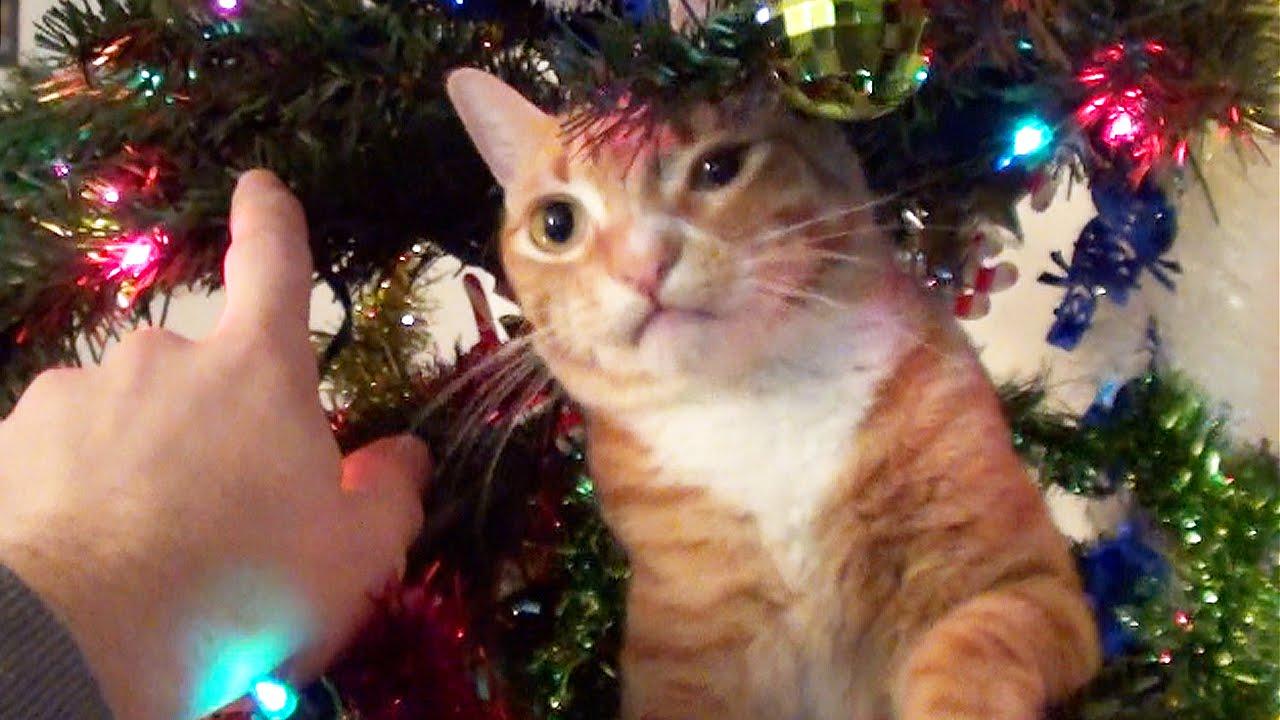 Fontos videó arról, mit is jelent ha a macskád mellett díszítenél karácsonyfát